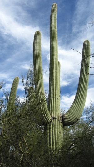saguaro-232762_640